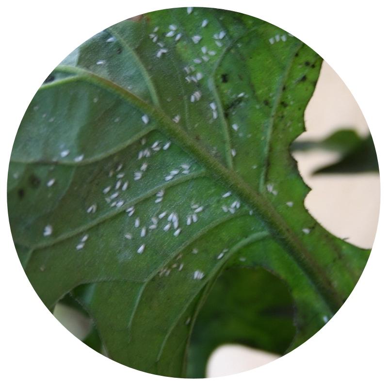 Diagnostique insectes des plantes le blog de la - Araignee rouge traitement naturel ...