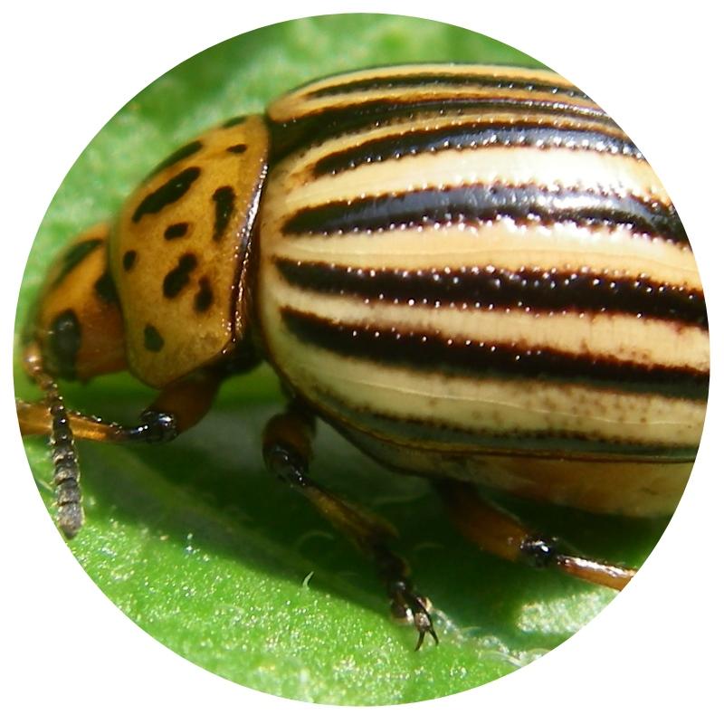 Diagnostique insectes des plantes le blog de la for Larve de noctuelle