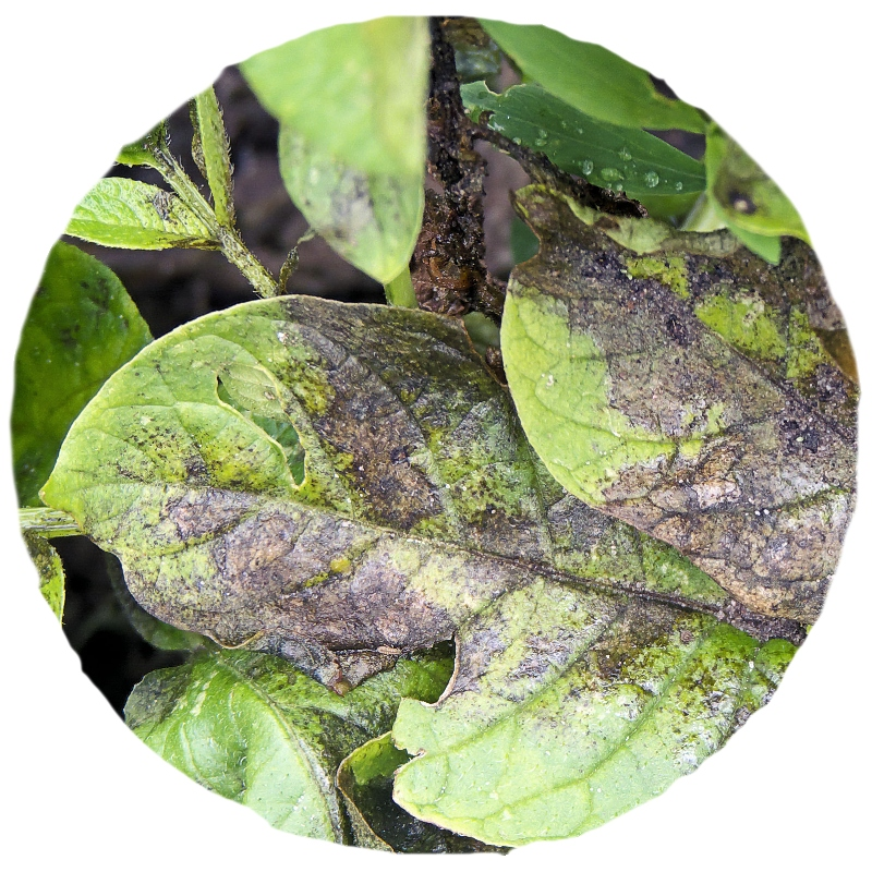 diagnostiques maladies des plantes le blog de la jardinerie marius ferrat. Black Bedroom Furniture Sets. Home Design Ideas