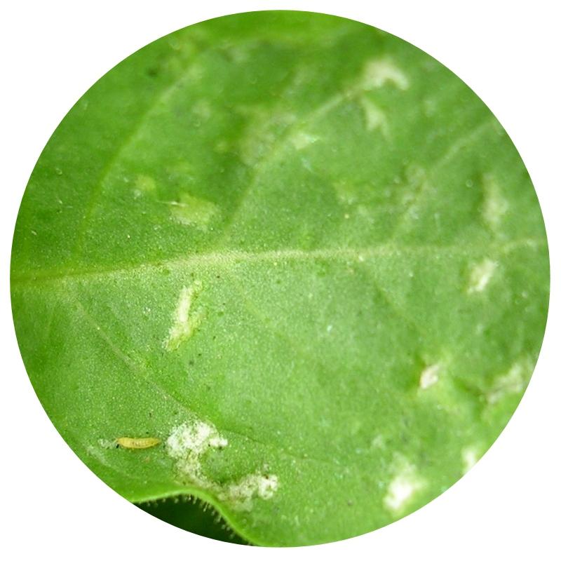 Diagnostique insectes des plantes le blog de la for Portent feuilles